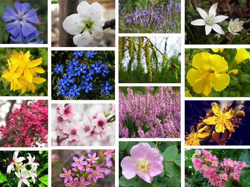 Vari fiori di bach bioessentia for Fiori immagini e nomi